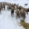Wyoming Game and Fish asks public to help solve elk, CWD, feedground puzzle