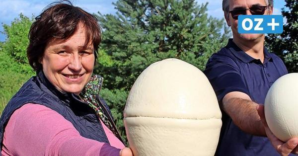 Ach du dickes Ei! Das ist das schwerste Ei eines Straußes auf der Usedomer Farm