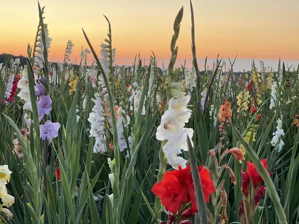 Die Gladiolenwiese bei Ribbeck. (Foto: Nadine Bieneck)
