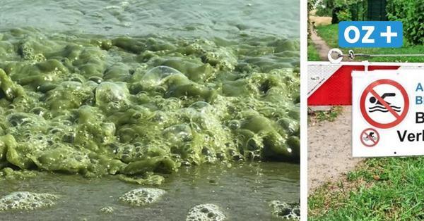 Achtung Blaualgen! Badeverbot am Strand von Wampen bei Greifswald