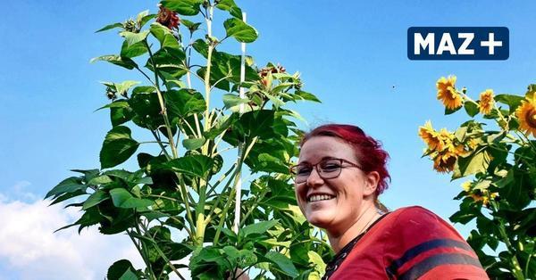 Giganten in Roskow: Sonnenblumen knacken beinahe die Vier-Meter-Marke
