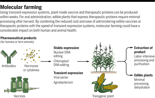 Plant-made vaccines and therapeutics | Science