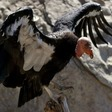 Sequencing the Condor Genome for Insights into Human Diversity