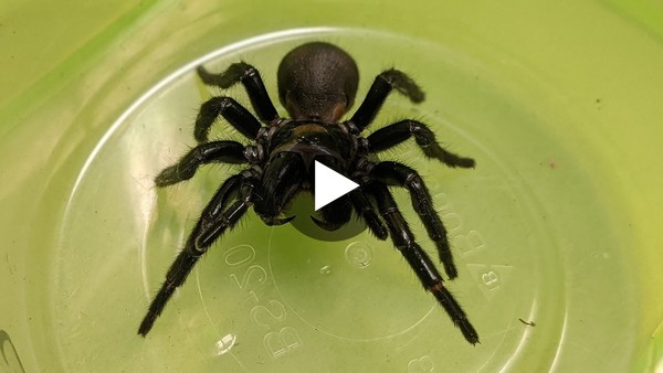 Repairing hearts with deadly spider venom