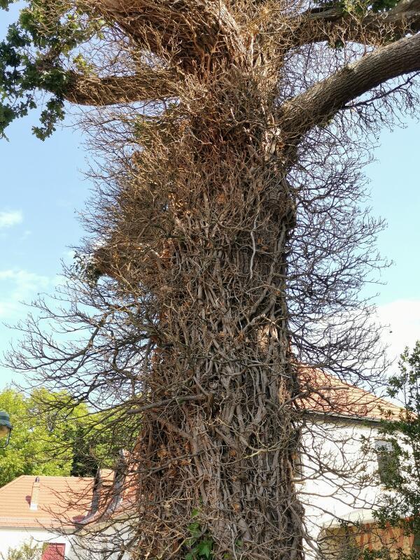 Wild bewachsener Baum in Born am Darß (Foto: Gudrun Joachim)