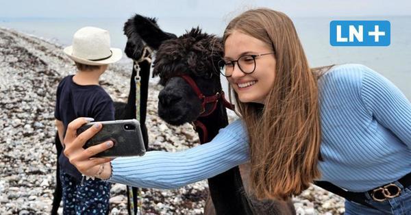 Spaziergang mit Alpakas auf Fehmarn: So viel Spaß macht die Sunset-Farm-Tour