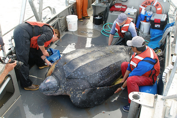 State advises that leatherbacks along Central Coast be listed as endangered