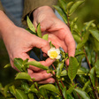 Chá Camélia: A Tea Garden Grows In Portugal