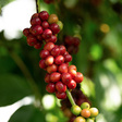 In Response To Climate Change, Brazilian Producers Are Switching To Robusta