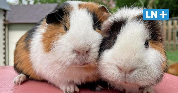 Gegen die Einsamkeit: Neustädter Tierärztin verleast Meerschweinchen