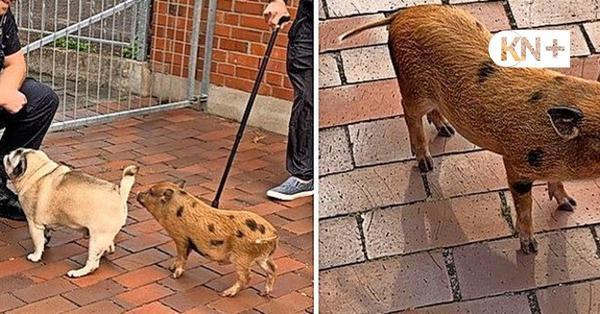 Vermeintliches Wildschwein in Eckernförde sorgt für Polizeieinsatz