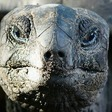 'Vegetarian' giant tortoise filmed attacking and eating seabird