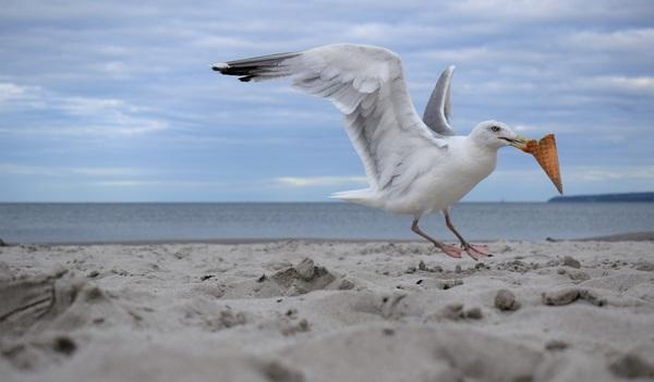 """""""Meins!"""", denkt sich wohl die Möwe am Strand in Juliusruh. (Foto: Corinna Schaak)"""