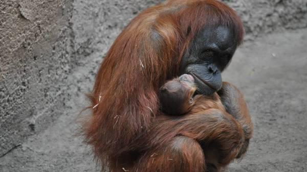 Orang-Utan-Mädchen im Zoo Leipzig zur Welt gekommen