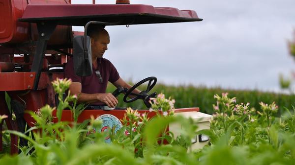 Berthen : à la ferme de l'Aubépine, on est en pleine récolte du tabac - Berthen : de boerderij van Aubépine zit midden in de tabaksoogst