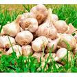 Garlic » AgriMarket Forum