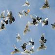 What Birmingham Roller Pigeons Offer the Black Men of South Central