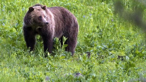 Grizzly bears continue to expand range, including the Bitterroot