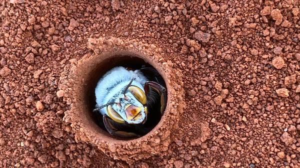 Australiens Teddybär-Bienen: Seit fast 100 Jahren verschwundene Art wieder aufgetaucht