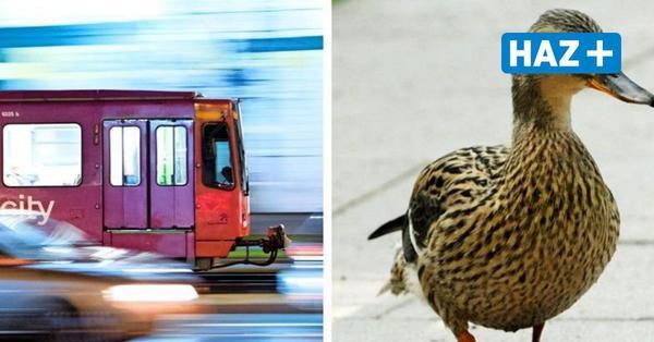 Üstra rettet verletzte Ente auf der Legionsbrücke