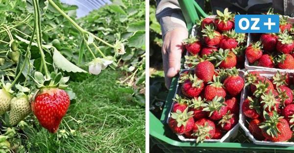 Erdbeerhof Glantz ist durch mit Ernte – Darum wird bei Karls noch immer gepflückt
