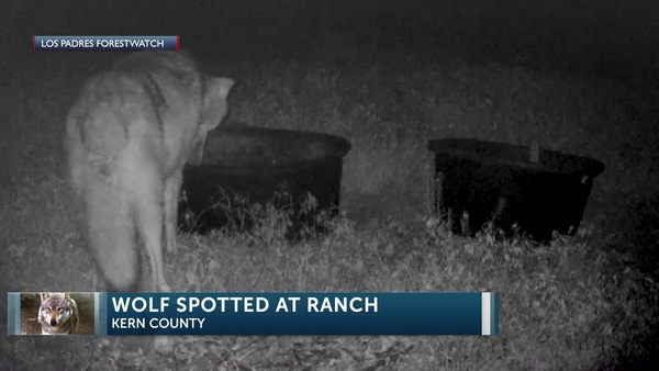 Gray wolf spotted on Central Coast for first time in over 100 years