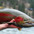 A dismal picture of steelhead run is emerging