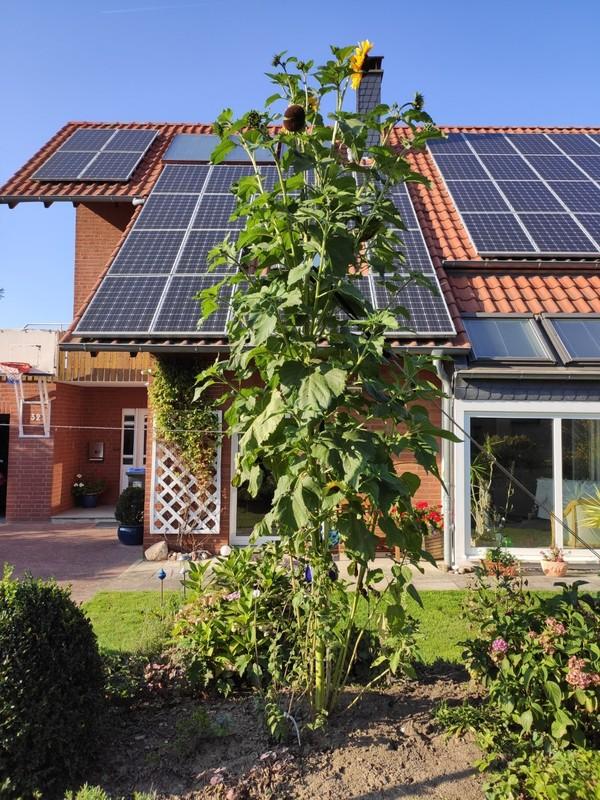 Karl-Heinz Wolfert hat uns ein Bild seiner 3,90 Meter hohen Sonnenblume aus seinem Garten geschickt.