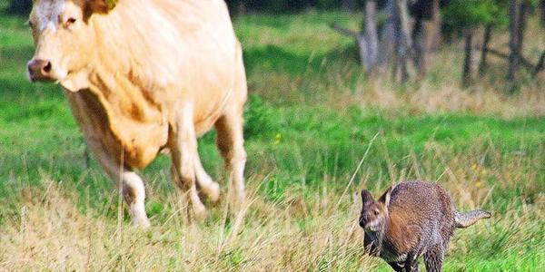 Delmenhorst: Entlaufenes Känguru liefert sich Wettrennen mit Kuh
