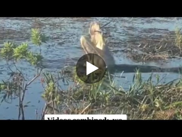 Alligator Eats a drone in Everglades, Florida.