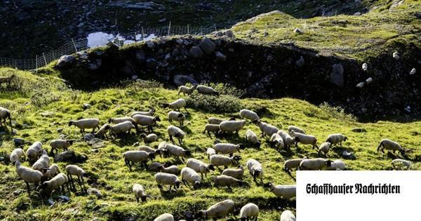 Wölfe reissen nicht mehr Schafe oder Ziegen