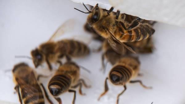 Die Insel der Züchter: Warum Imker aus ganz Deutschland ihre Bienen jedes Jahr nach Baltrum bringen