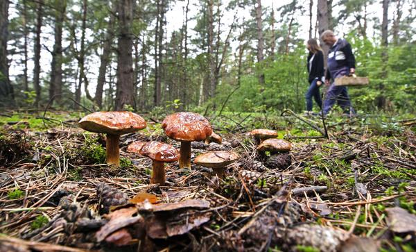 Auch im Forst Rundshorn in der Wedemark werden Pilzfreunde fündig. (Foto: Martin Steiner)