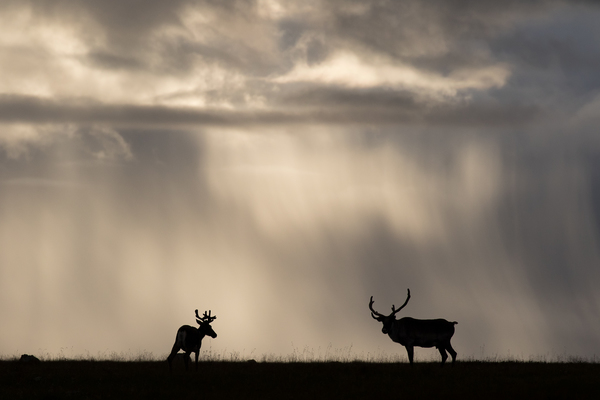 Caribou are vanishing at an alarming rate. Is it too late to save them?