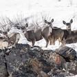 Montana mule deer on the move
