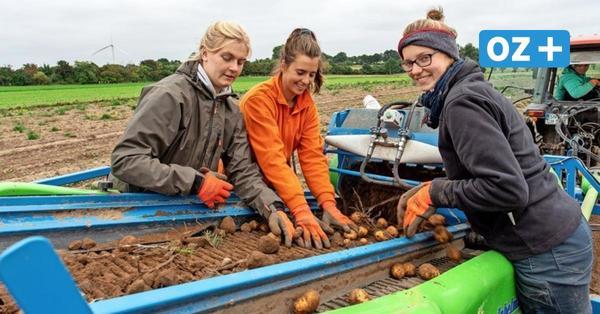 Gute Kartoffelernte 2021 in MV: Hier gibt's die Knollen vom Bauern frisch aus der Erde
