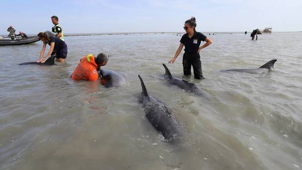 17 Delfine stranden vor französischer Insel Île de Ré