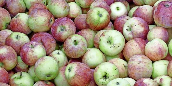 Volker Croys Gartentipps: Wie man erkennt, wann Äpfel reif sind