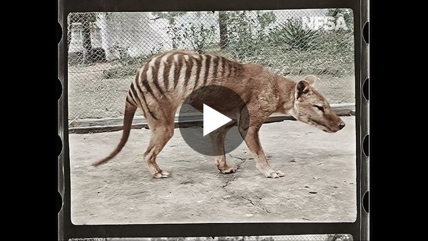 A 90-year old video of one of the last Tasmanian tigers, restored in glorious 4K full colour.
