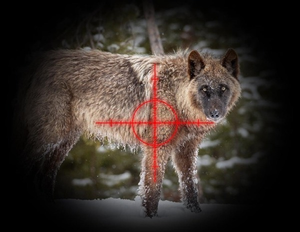 Montana defiantly puts Yellowstone wolves in its crosshairs
