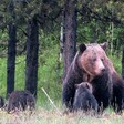 Four North Fork grizzlies put down; feasted on garbage stored in trailer
