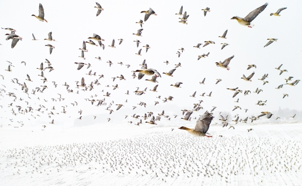 Pink-Footed Geese Meeting the Winter by Terje Kolaas. Photo of the year