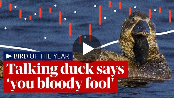 Talking duck in Australia can say 'you bloody fool' after learning to imitate human speech