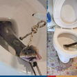 How to prevent snakes from infiltrating your toilet