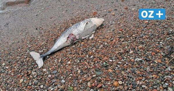 Toter Schweinswal in Rerik angespült: Wie Sie sich bei so einem Fund verhalten sollten