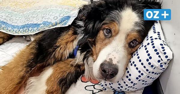 Wismar: Von Maden angefressen – Schicksal von Hund Bruno schockt Tierheimmitarbeiter