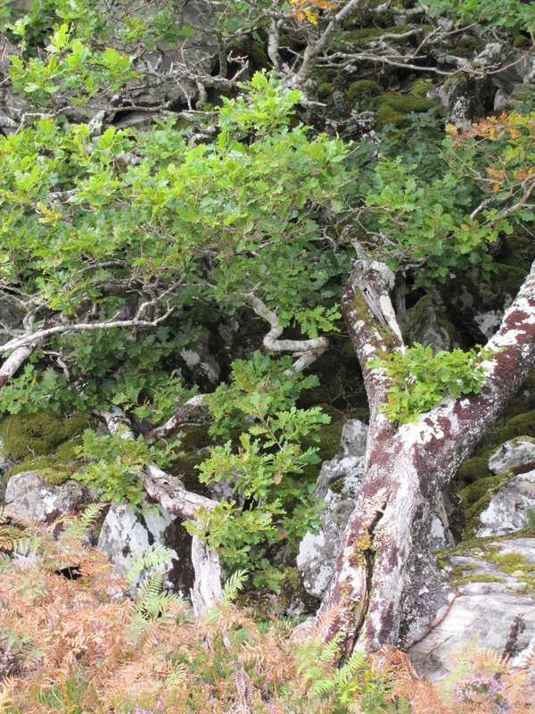 Rock-eating oak with twisty friends. I love the blending of organic and inorganic.