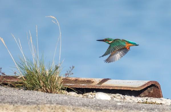 Eisvogel im Flug auf dem Darß (Foto: Klaus Haase)