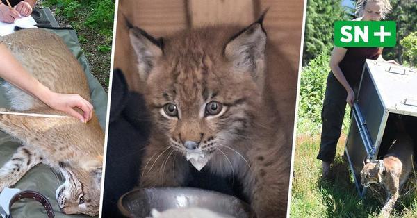 Im Harz ausgewildert: Wildtier- und Artenschutzstation Sachsenhagen hat erneut junge Luchse aufgezogen