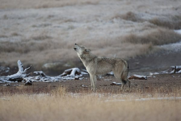 Feds to explore relisting wolves as endangered